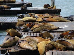 A slew of sea lions basking in the sun at Pier 39